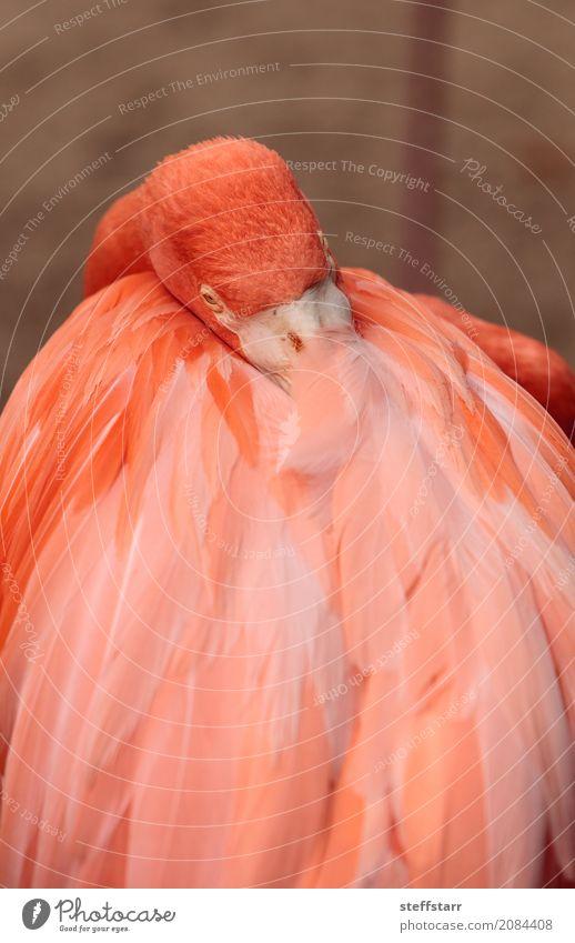 Rosa karibischer Flamingo, Phoenicopterus ruber Tier Wildtier Vogel 1 wild orange rosa rot rosa Flamingo Karibischer Flamingo phoenicopterus ruber Wildvogel