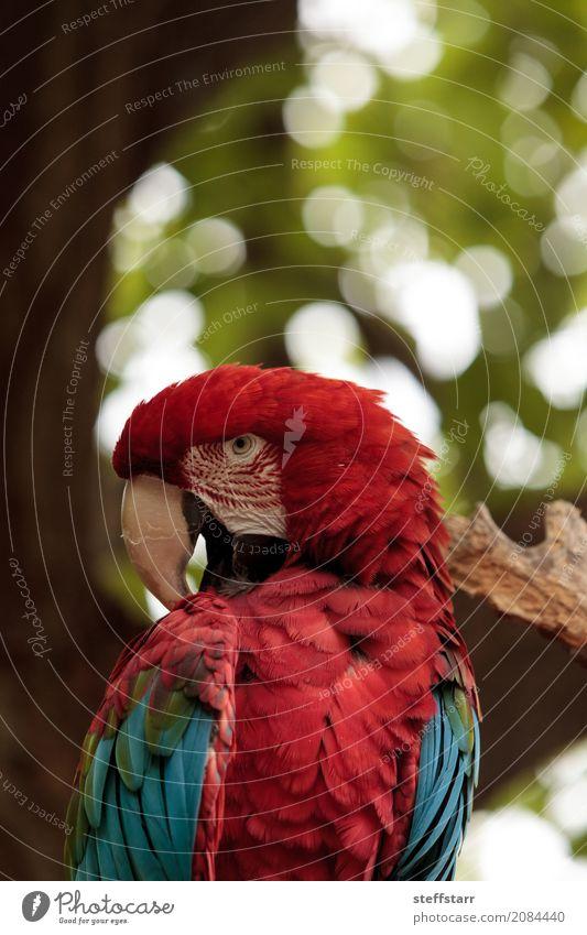 Grüner Flügel Macaw Ara chloropterus Baum Tier Wildtier Vogel 1 blau grün rot Grünflügelara Roter und grüner Ara gefährdet Südamerika Papagei Wildvogel Tierwelt