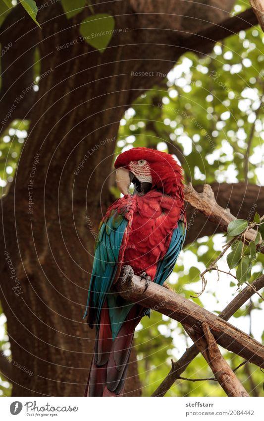 Grüner Flügel Macaw Ara chloropterus Baum Tier Wildtier Vogel Tiergesicht 1 blau grün rot Grünflügelara Roter und grüner Ara gefährdet Südamerika Papagei