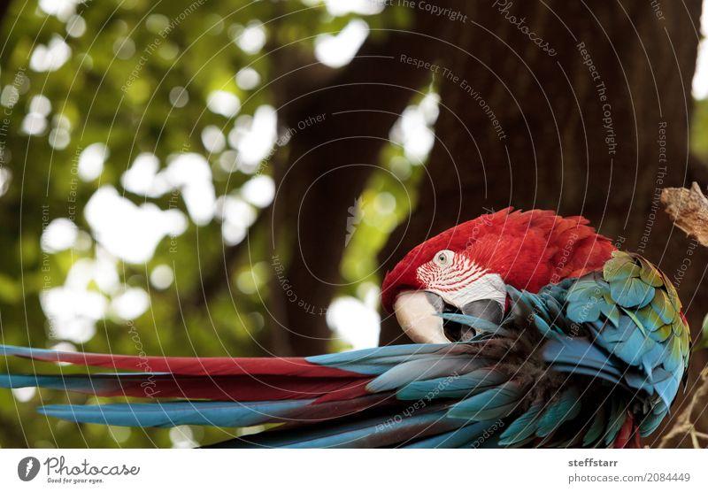 Grüner Flügel Macaw Ara chloropterus Tier Wildtier Vogel 1 blau grün rot Grünflügelara Roter und grüner Ara gefährdet Südamerika Papagei Wildvogel Tierwelt
