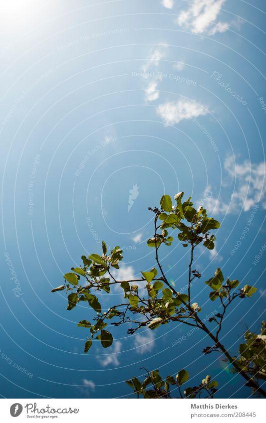 Der Sonne entgegen Umwelt Natur Pflanze Himmel Wolken Sonnenlicht Sommer Schönes Wetter Baum ästhetisch Wachstum Zweig Ast Zweige u. Äste aufwärts klein