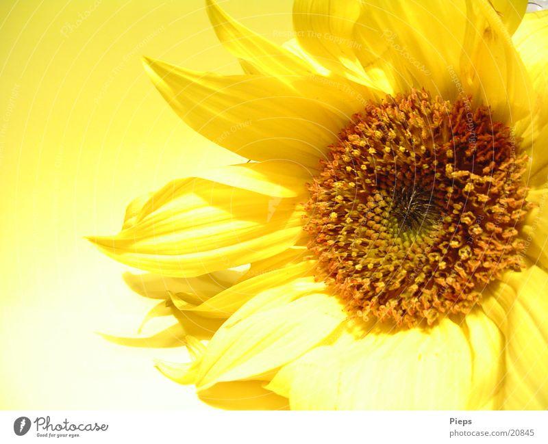 Eine Hand voll Sonne (2) Farbfoto Innenaufnahme Hintergrund neutral Kunstlicht Sommer Garten Erntedankfest Natur Pflanze Herbst Blume Blüte Blühend natürlich