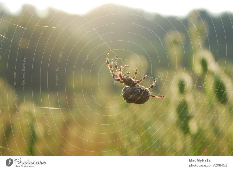 Große Spinne Natur Landschaft Pflanze Tier Erde Wasser Wassertropfen Himmel Horizont Sonne Sonnenaufgang Sonnenuntergang Sommer Blume Gras exotisch Feld wählen