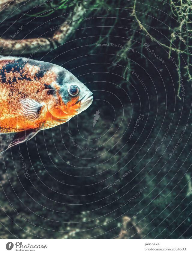 bouillabaisse Urelemente Wasser Pflanze Tier Fisch 1 beobachten Schwimmen & Baden mehrfarbig Fischauge orange blau dunkel Unterwasseraufnahme Algen