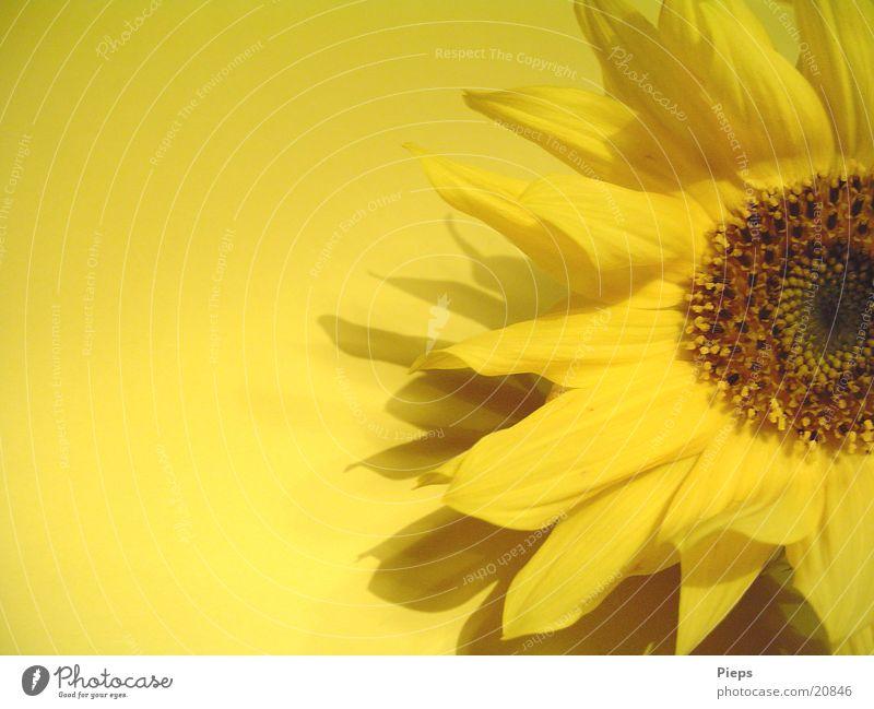 Eine Hand voll Sonne (1) Blume Pflanze Sommer gelb Herbst Blüte Blühend Sonnenblume Blütenblatt