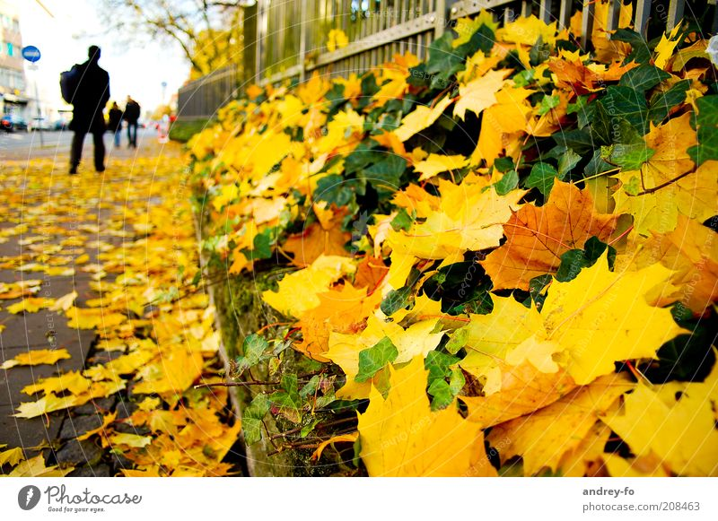 Herbst. Straße. Mensch 1 Blatt Wege & Pfade gelb gold grün Ahornblatt Efeu Herbstlaub Herbstwetter Jahreszeiten Zaun Fußgänger Fußgängerzone Bürgersteig