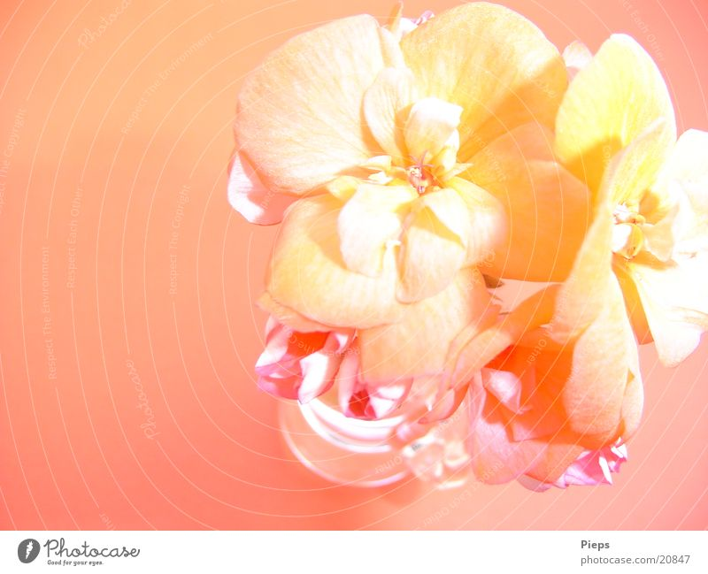 Letzte Blüte (1) Farbfoto Innenaufnahme Tag Sommer Pflanze Blume Blühend rosa Farbverlauf Pelargonie Vase flower blossom Pastellton 2