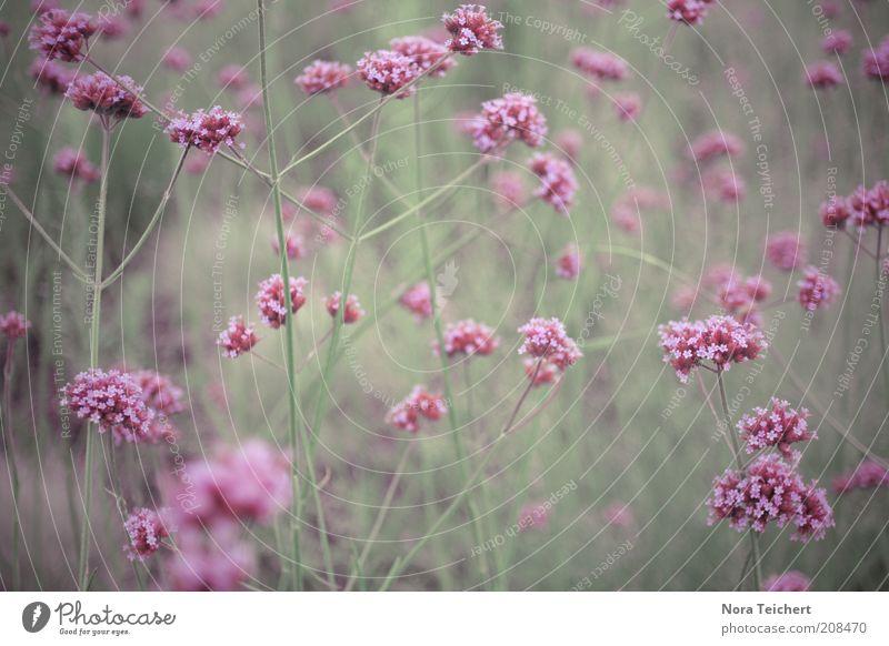 Die Farbe Lila Umwelt Natur Landschaft Pflanze Frühling Sommer Klima Schönes Wetter Blume Gras Blüte Grünpflanze Wildpflanze Blühend Duft träumen Wachstum