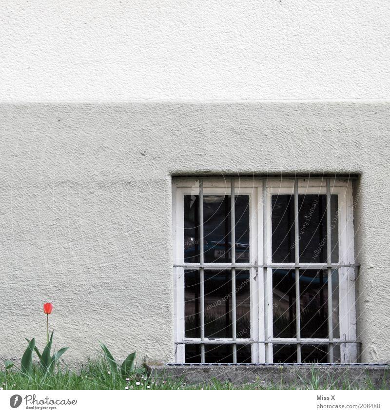 Eine Tulpe Blume Blüte Haus Mauer Wand Fenster Blühend trist Gitter Farbfoto Außenaufnahme Menschenleer Textfreiraum links Textfreiraum oben Fassade Putzfassade