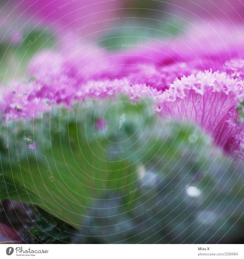 rose frisée grün Pflanze Garten rosa Lebensmittel Wachstum frisch Ernährung Gemüse Salat Zierkohl