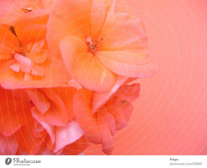 Letzte Blüte (2) Blume Pflanze Sommer Garten rosa Fröhlichkeit Blühend Vase Pelargonie