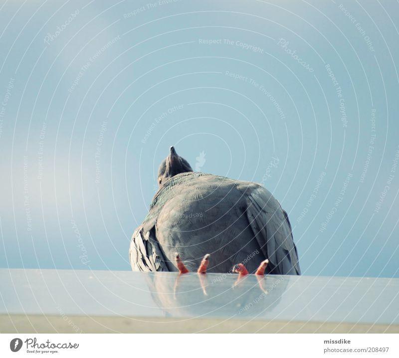 fernweh Umwelt Natur Tier Luft Himmel Wolkenloser Himmel Sommer Wildtier Vogel Taube Flügel 1 Blick blau grau ruhig Fernweh Einsamkeit Gedeckte Farben