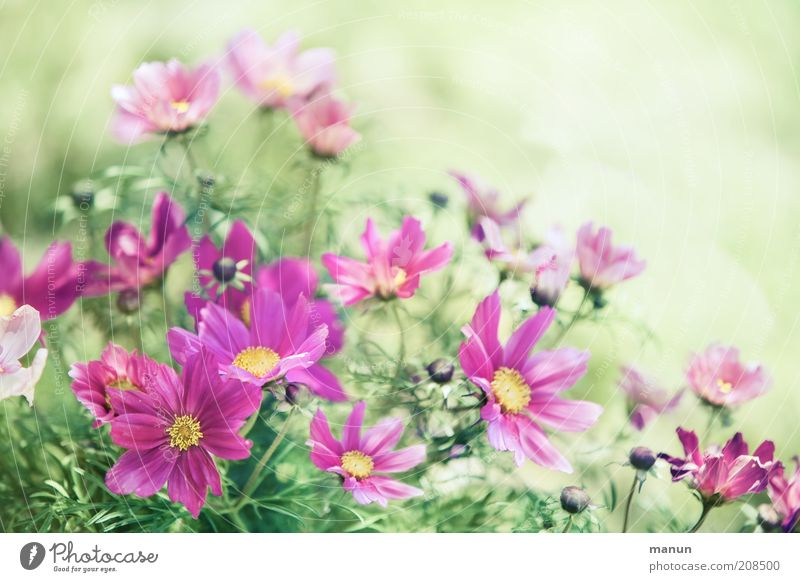 pink summer Natur Pflanze Sommer Blume Blüte Schmuckkörbchen Sommerblumen Blühend frisch schön rosa Farbfoto Außenaufnahme Textfreiraum rechts Textfreiraum oben