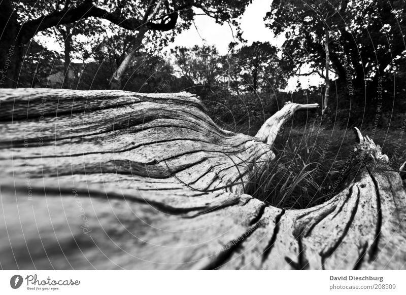 Old irish tree Natur Landschaft Pflanze Baum Garten Park Wiese Wald alt Baumrinde Riss Ast morsch hell dunkel Tod grau Holz Baumstamm Schwarzweißfoto