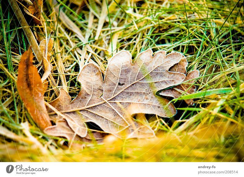 Eichenblatt Natur Gras Blatt kalt Herbst Tau Herbstlaub Herbstfärbung Herbstwetter frieren herbstlich Herbstbeginn Blätterfall braun feucht Nahaufnahme nass