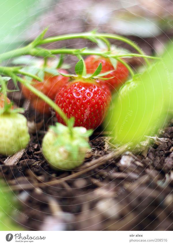 Fruchtreife Pflanze Erdbeeren Rindenmulch Garten Wachstum Gesundheit lecker natürlich saftig schön süß braun grün rot Reifeprozess Bioprodukte vitaminreich