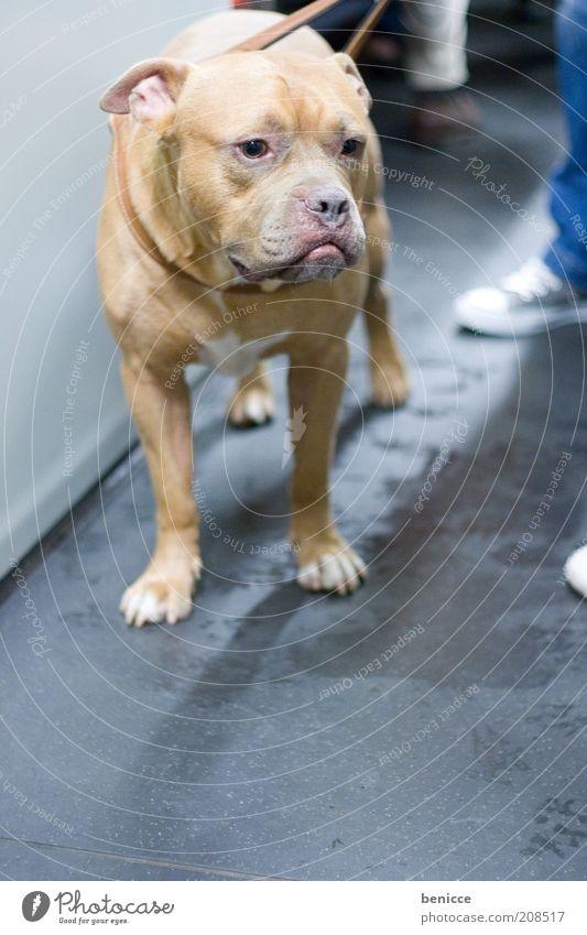 Fass ! Hund Tier Haustier gefährlich bluthund bedrohlich niedlich Hundeleine unschuldig Hundegesetz Hundeverordnung Kampfhund Staffordshire Bullterrier