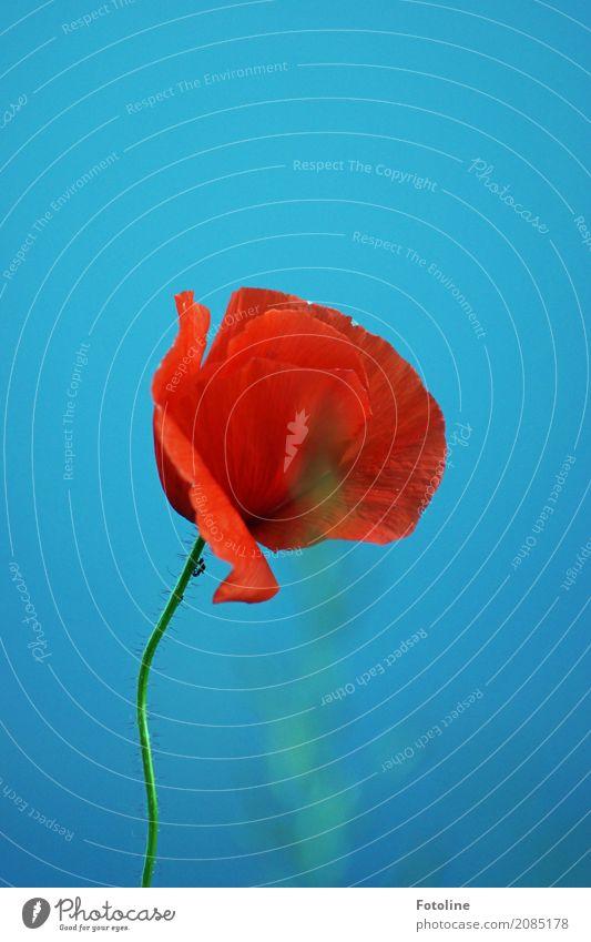 Lieblingsblume Umwelt Natur Pflanze Himmel Wolkenloser Himmel Sommer Schönes Wetter Blume Blüte hell natürlich Wärme blau grün rot Mohn Mohnblüte Blühend