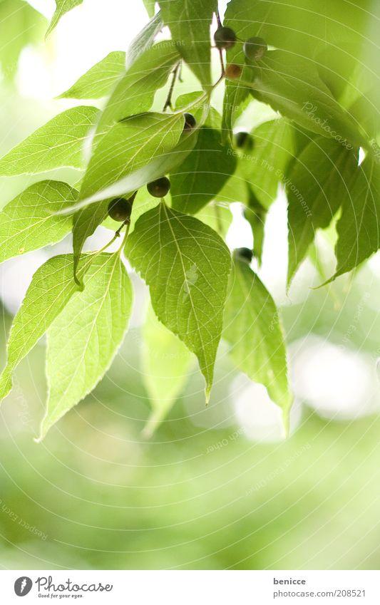 Es grünt so grün Natur Pflanze Blatt Beeren Blattgrün Frühling Sommer frisch Sonnenlicht Wachstum Gegenlicht Tag