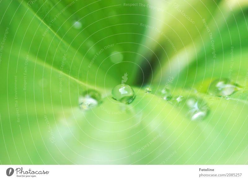 Tropfenparade Umwelt Natur Pflanze Urelemente Wasser Wassertropfen Regen Blatt Garten Park frisch hell nah nass natürlich grün perlen Blattadern