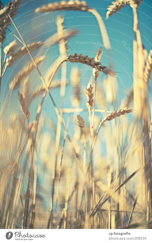 Weizen Natur Himmel Sonne Pflanze Sommer Stimmung Feld Lebensmittel Getreide Landwirtschaft Ähren Schönes Wetter Weizen Kornfeld Nutzpflanze Wolkenloser Himmel
