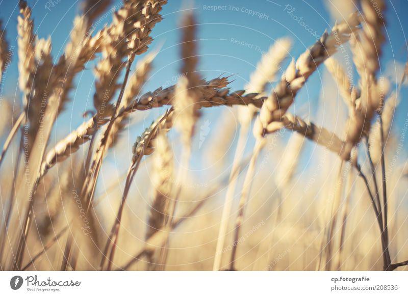 Weizen 2 Getreide Landwirtschaft Natur Pflanze Himmel Wolkenloser Himmel Sonnenlicht Sommer Schönes Wetter Nutzpflanze Weizenfeld Weizenähre Feld Stimmung