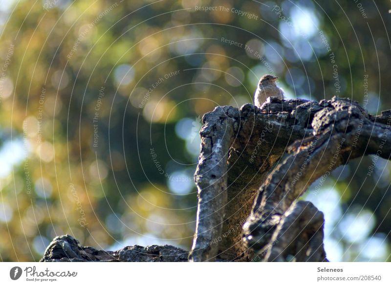 Sperling (versteckt) Umwelt Natur Pflanze Tier Sommer Herbst Wetter Baum Vogel Spatz Sperlingsvögel Unschärfe Farbfoto Außenaufnahme Menschenleer