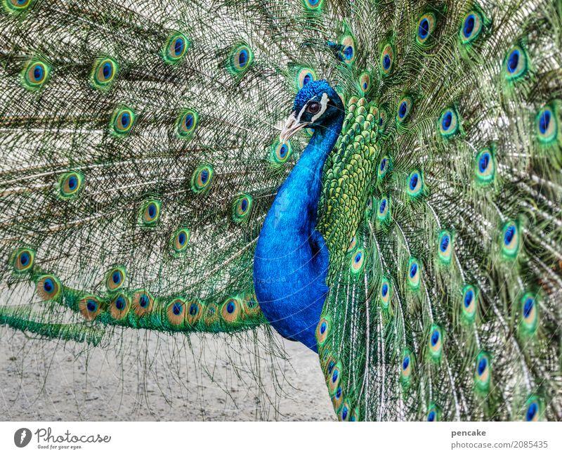 haut couture Tier Vogel 1 elegant schön Pfau Auge Pfauenfeder werben Farbfoto Außenaufnahme Nahaufnahme Muster Tierporträt