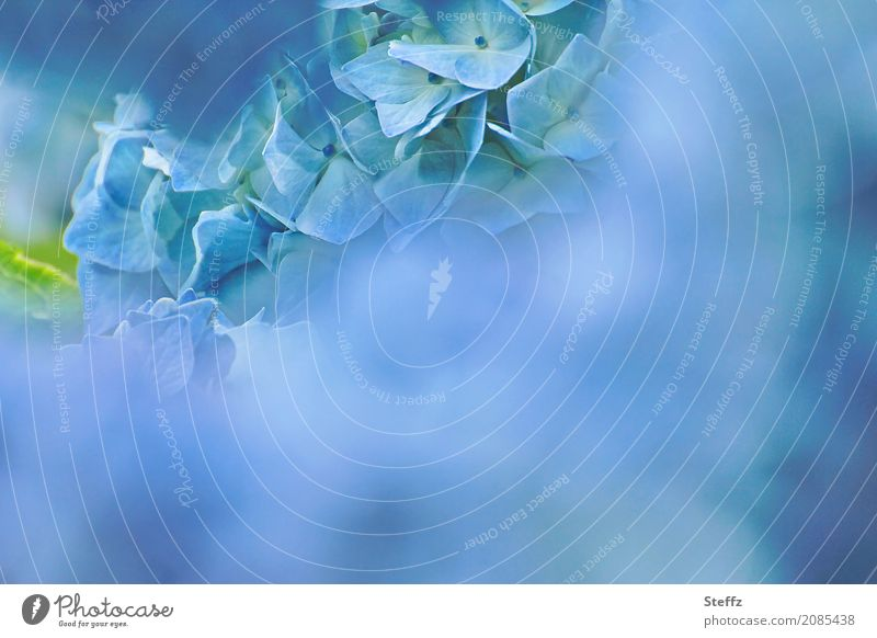 Hortensie traumblau Natur Pflanze Sommer Farbe schön Blume Blüte Garten Stimmung Textfreiraum Park Idylle Geburtstag Blühend Romantik