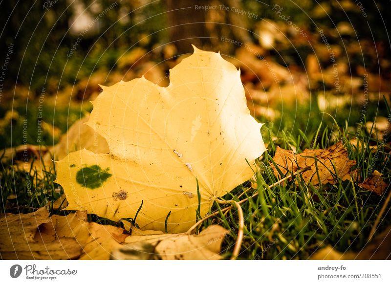 Ahornblatt Natur Herbst Gras Blatt alt gelb gold grün Herbstwald Jahreszeiten Herbstlaub herbstlich Herbstbeginn Boden Herbstwetter Stimmung Herbstfärbung