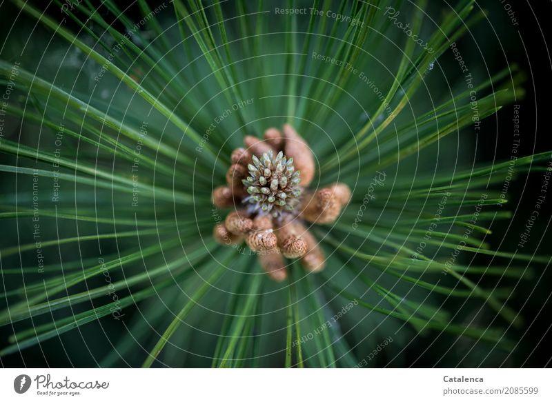Wachstum Natur Pflanze Sommer Baum Blüte Kieferblüte Kiefernadeln Garten Wald Blühend ästhetisch braun grün schwarz weiß Vorfreude Optimismus Erfolg Energie