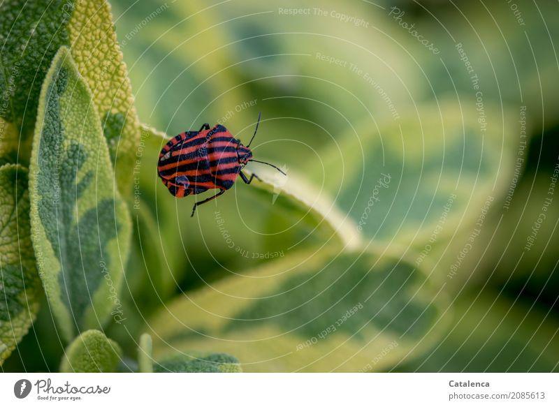 Streifenwanze Natur Pflanze Tier Sommer Klimawandel Blatt Salbei Garten Wanze 1 krabbeln gelb grün rot schwarz Befremden Umwelt Farbfoto mehrfarbig