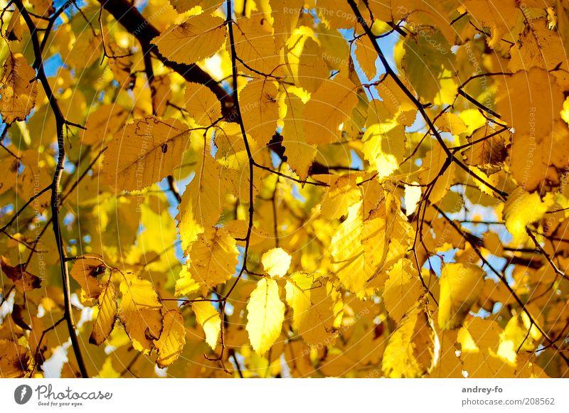 Herbstblätter Natur Blatt gelb braun gold Ast Schönes Wetter Jahreszeiten Zweig Herbstlaub herbstlich Herbstfärbung Herbstbeginn Blätterdach Herbstwald