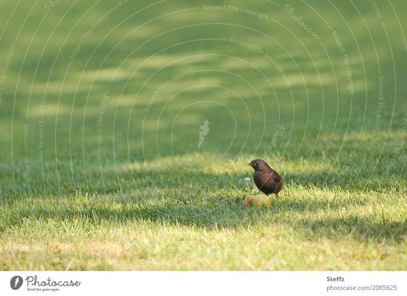 Obst zum Frühstück Amsel Apfel Vogel Vögel füttern Vogelbeobachtung Ruhe Singvögel Amseln beobachten Blick klein grün ruhig Lichtstimmung Vogelfutter Leben