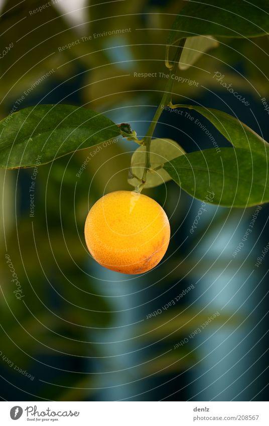 Einsame Orange Natur Baum Sommer Garten Wärme Orange Gesundheit Wachstum rund lecker hängen Schönes Wetter Strukturen & Formen Sonnenlicht Obstbaum Orangenbaum