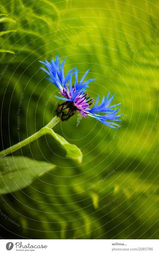 blume. Natur Pflanze Blume Flockenblume Kornblume Bergflockenblume Blühend natürlich blau grün Blattgrün Farbfoto Außenaufnahme