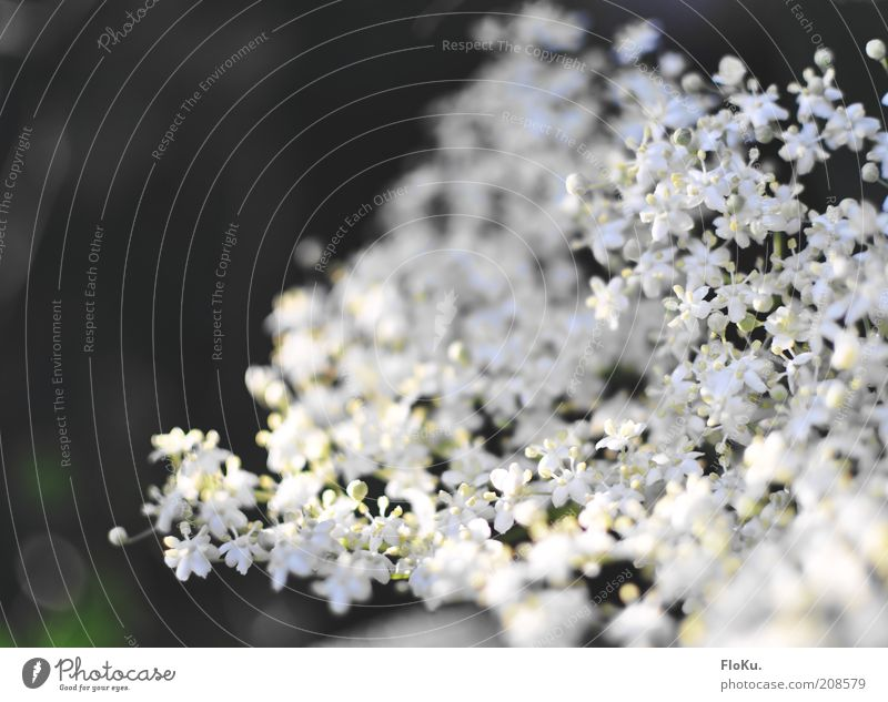 zierlich fragil Natur schön weiß Blume Pflanze Blüte Park klein Umwelt zart Idylle filigran Grünpflanze Fliederbusch Wildpflanze