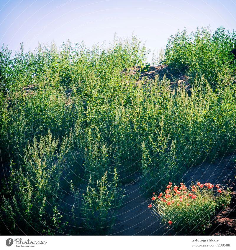 Erstbewuchs Umwelt Natur Landschaft Pflanze Himmel Wolkenloser Himmel Schönes Wetter Gras Grünpflanze Wildpflanze Unkraut Mohn Mohnblüte Wiese Hügel Wachstum