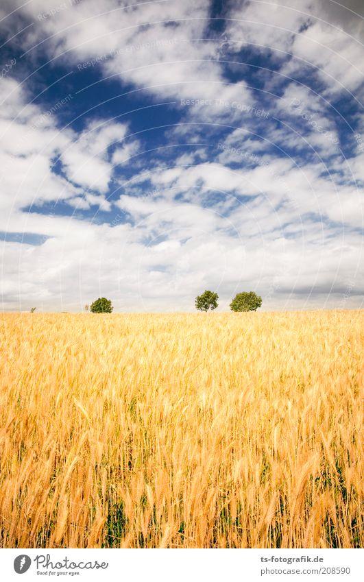 Das Feld der Ähre II Natur Himmel weiß Baum grün blau Pflanze Sommer Wolken gelb Ferne Farbe Landschaft Feld Umwelt gold