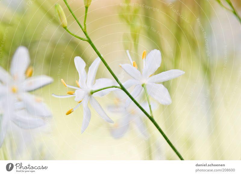 pastell Pflanze Blume hell gelb grün weiß Blüte Sommer Nahaufnahme Makroaufnahme Schwache Tiefenschärfe Menschenleer Blütenblatt Blühend Blütenstempel Unschärfe