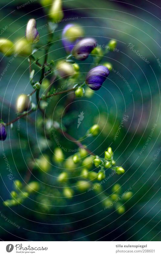 Mönchskappe Natur blau grün schön Pflanze Blume ruhig gelb Farbe Umwelt frisch natürlich wild ästhetisch Wachstum zart