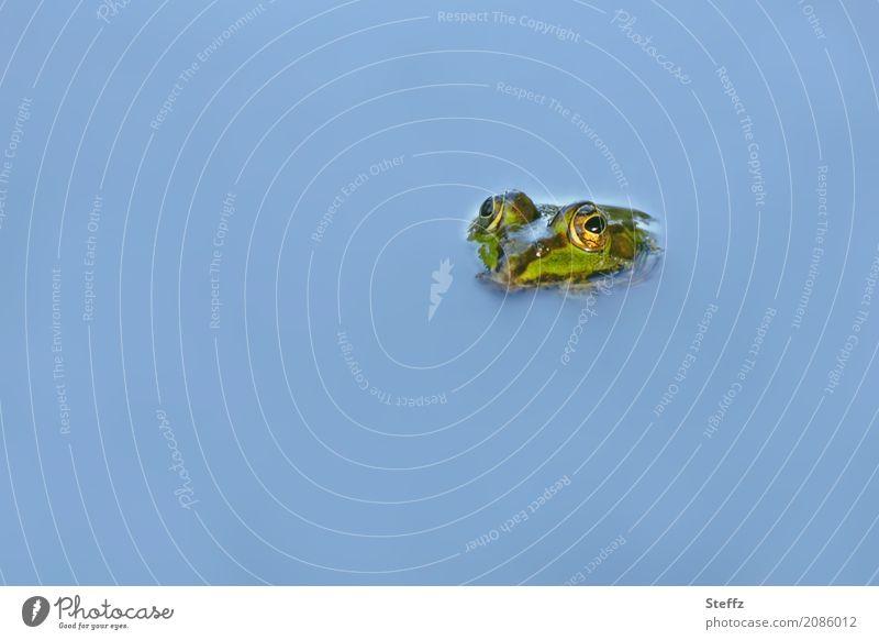 Teichaugen Natur blau schön Wasser Tier Umwelt Auge Schwimmen & Baden Textfreiraum Kopf einzeln beobachten Frosch Wasseroberfläche hell-blau