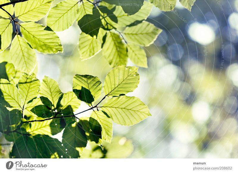 Blätterdach Natur Frühling Sommer Baum Blatt Laubbaum Ast Buche Buchenblatt fantastisch hell positiv schön grün Leben Leichtigkeit Umweltschutz Wachstum