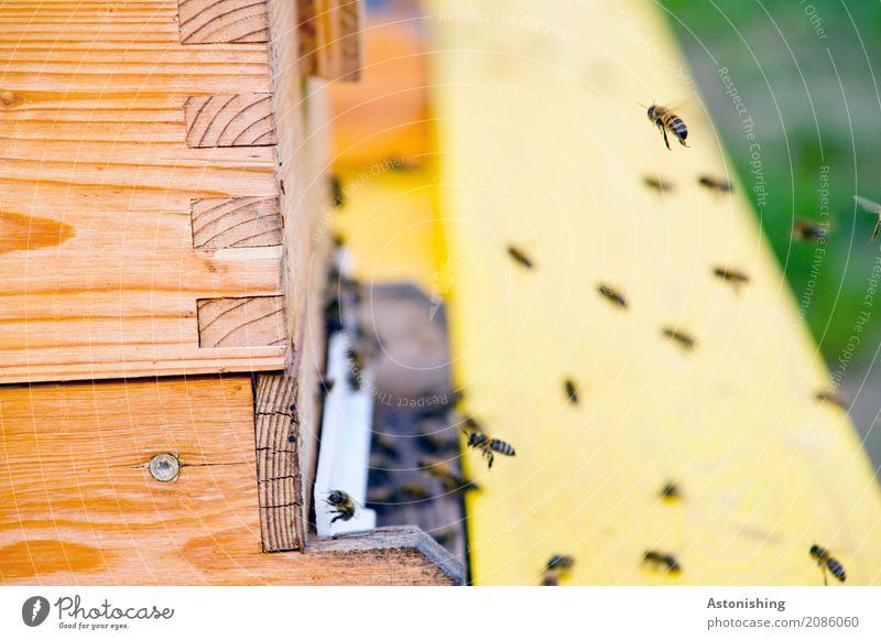 im Anflug Natur Tier schwarz Umwelt gelb Holz klein braun fliegen Flügel Geschwindigkeit Hütte Biene Schwarm Schraube Nutztier
