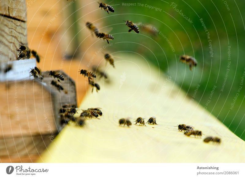 Heimkehr Umwelt Natur Tier Luft Haus Hütte Nutztier Wildtier Biene Schwarm Holz Arbeit & Erwerbstätigkeit fliegen klein braun gelb grün schwarz wiederkommen
