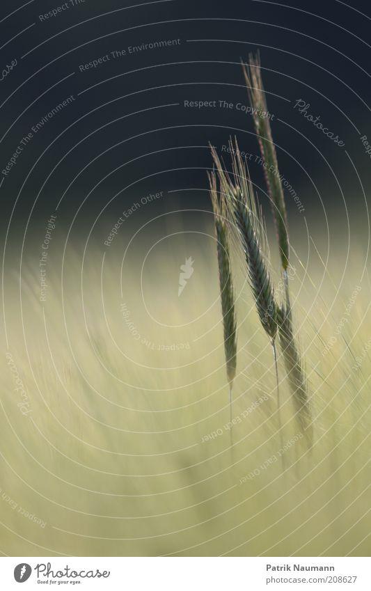 Freisteller Natur Pflanze Sommer Erholung Herbst Blüte Gras Landschaft Feld Wetter Umwelt hoch lang Getreide Blühend Duft