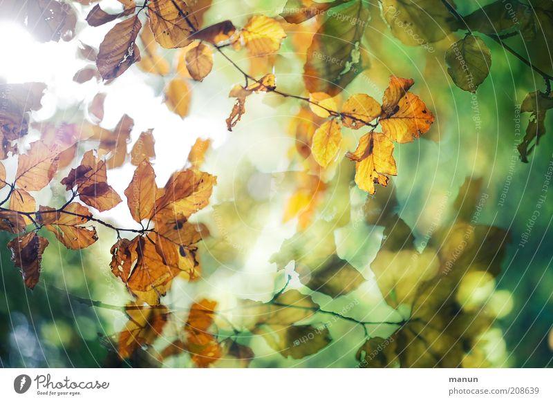 im Buchenhain Umwelt Natur Herbst Blatt Herbstlaub herbstlich Herbstfärbung Herbstwetter Buchenblatt Zweige u. Äste außergewöhnlich fantastisch schön