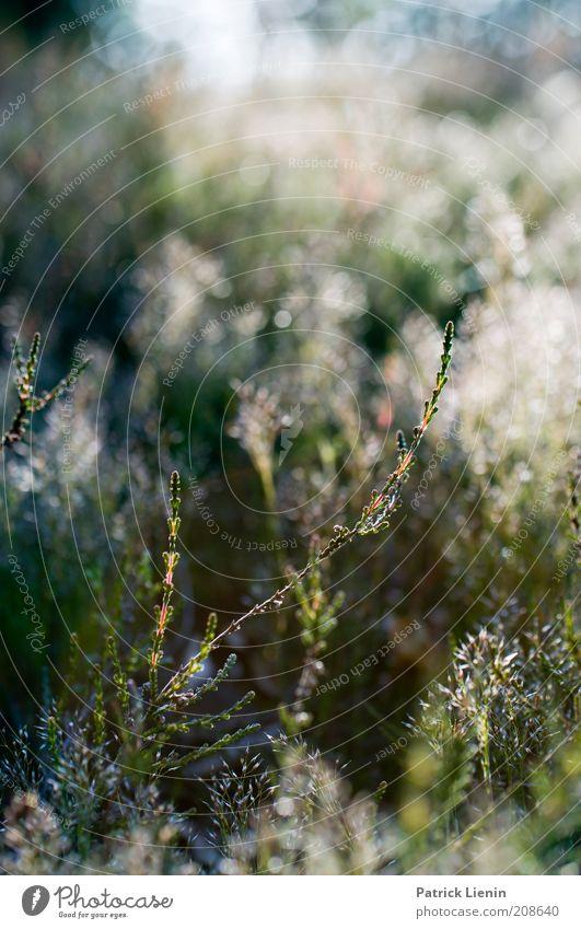 Calluna Natur schön Sonne grün Pflanze Sommer Wiese Gras Freiheit Landschaft Luft Umwelt frei Erde ästhetisch Sträucher