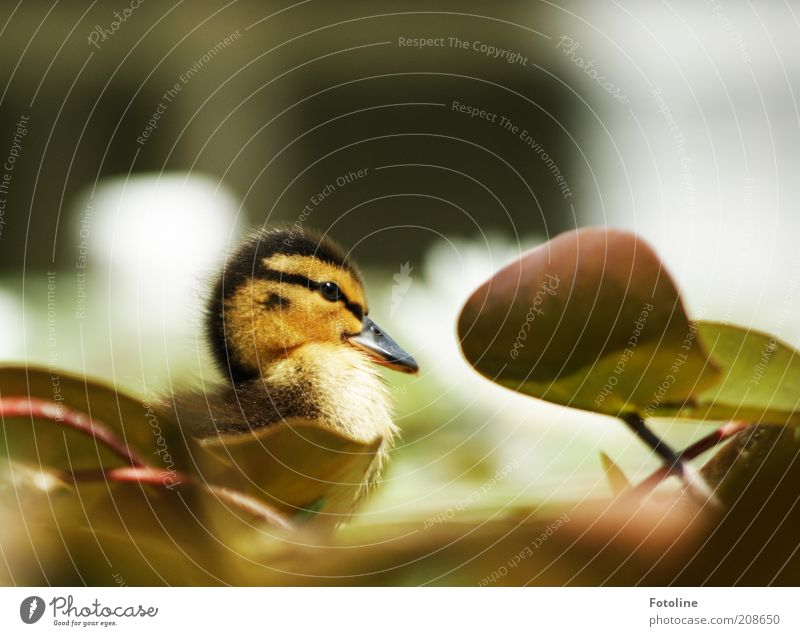 Schnattchen Natur Pflanze Blatt Tier Frühling Wärme hell Vogel Küste Umwelt weich Tiergesicht Ente Wildtier Seeufer Teich
