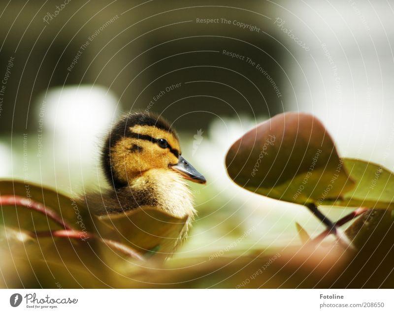 Schnattchen Umwelt Natur Pflanze Tier Frühling Wärme Blatt Seeufer Teich Wildtier Vogel Tiergesicht Tierjunges hell weich Seerosenblatt Küken Entenküken